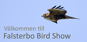 Falsterbo Bird Show